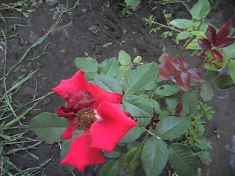 Роза превращается в шиповник. Осторожно!