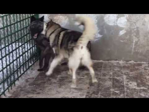 Волчица и собака || Wolf and dog