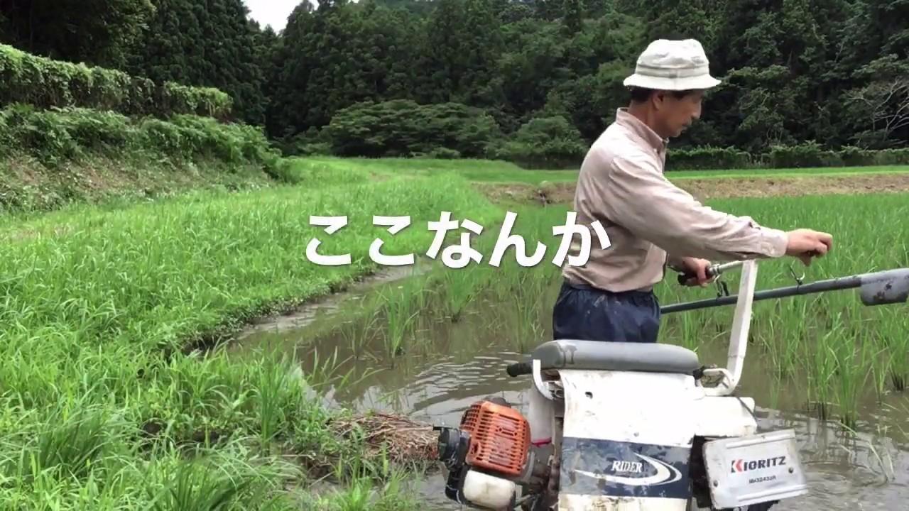 2020/7/9。楽農稲作。溝切りをするのにいつ水を落としますか?水を落として2日後では遅い理由。