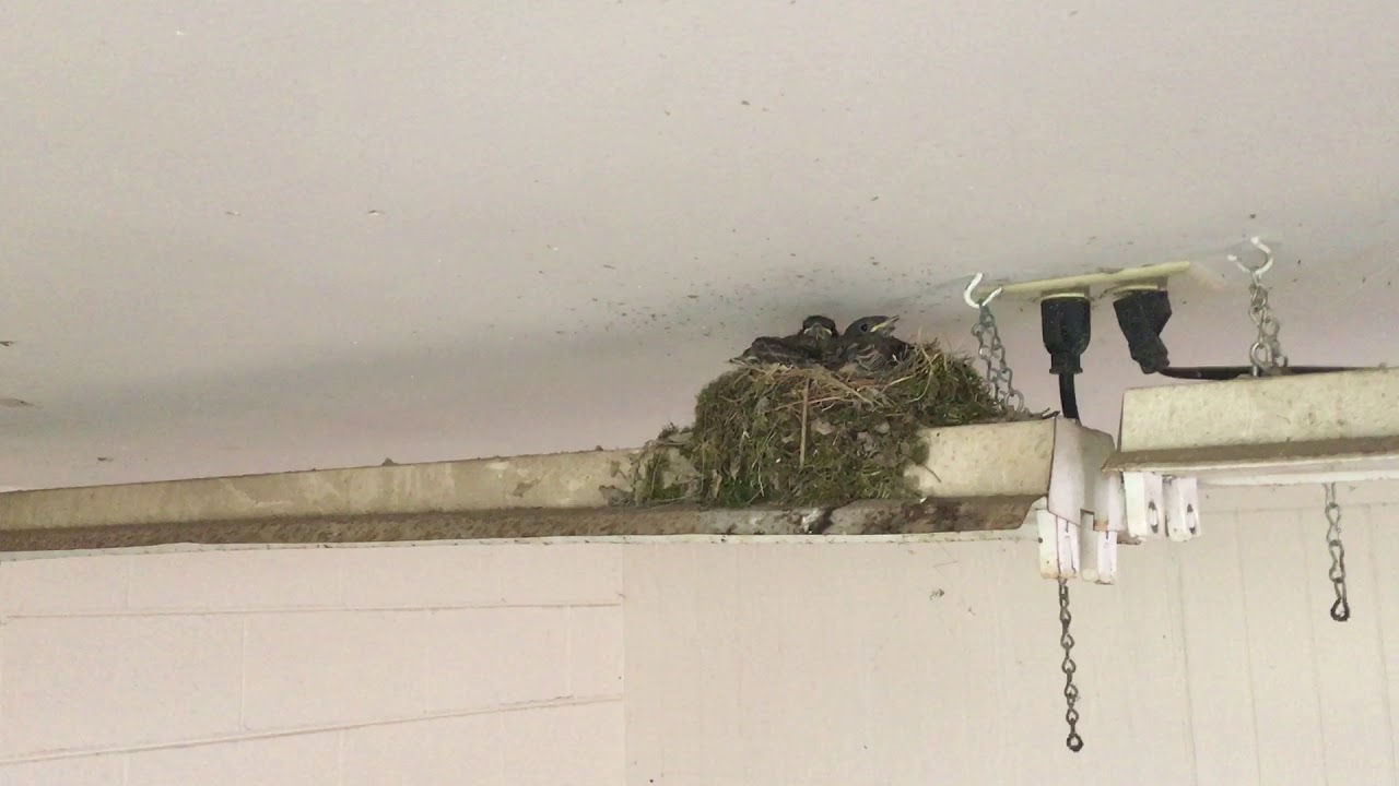 Baby Barn Swallows Hatch From Eggs In Nest In Our Wood Shed