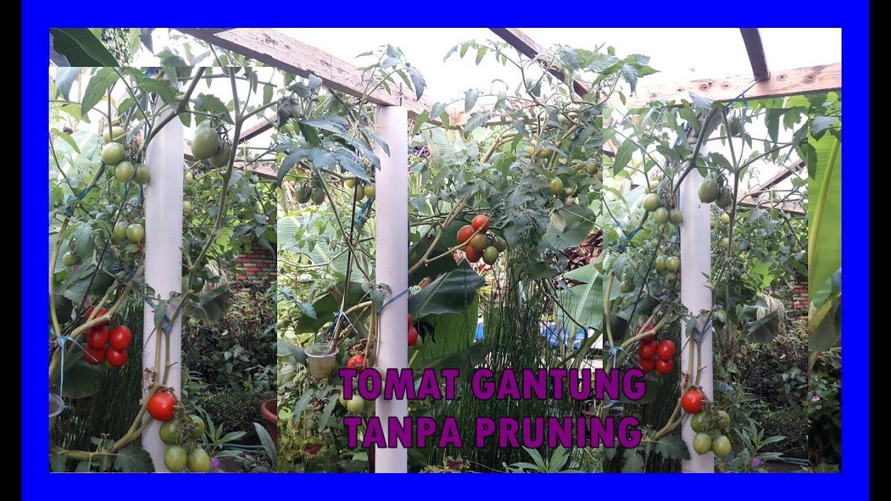 PERAWATAN TABULAMPOT TOMAT DI ATAS ATAP LEBAT BUAH MESKI TANPA PRUNING | PLANTING TOMATO IN POT