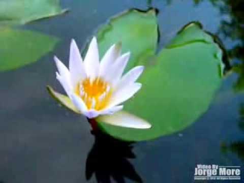 紫式部 黑美人 睡蓮 紫式部 nymphaea murasaki sikibu