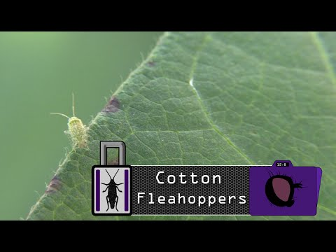 Insect Lockdown Pest Profiles: The Cotton Fleahopper
