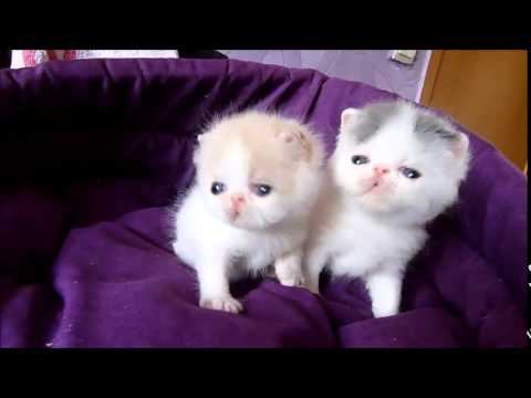 kittens exotic shorthair female / available for sale