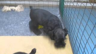 Miniature Schnauzer Puppies For Sale In Pa.