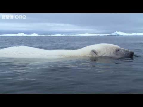 HD: Clever Polar Bear Stalks Seal - Polar Bear: Spy On The Ice, Preview - BBC One
