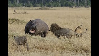 Hippopotamus vs Lion real Fight To Death - Wild Animals Attack