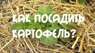 Картофеля в гребнях. Картофель под сеном.(Слой органической мульчи около стеблей и в затененных местах должен быть минимальным, в междурядьях –..., 2015-06-28T14:54:11.000Z)