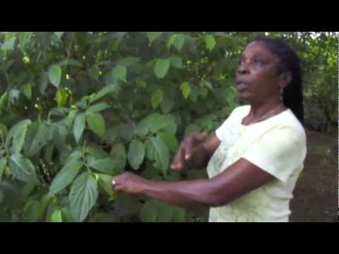Healing Herbs from Jamaica with Dr. Al Sears and Maroon Healer Ivey Harris