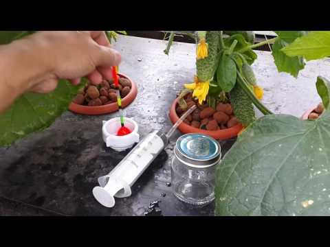 видео: Сравнение огурцов на гидропонике и земле в одинаковых условиях