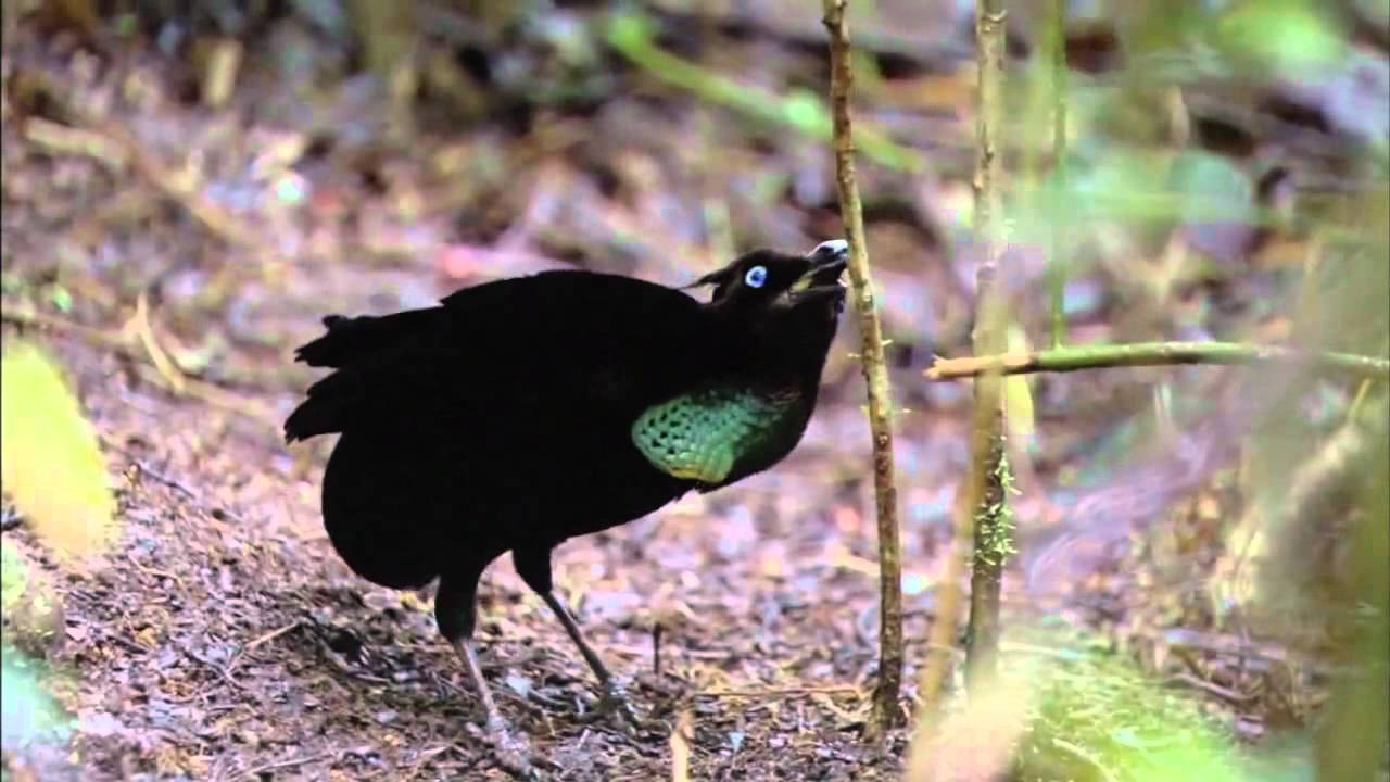 bbc planet earth birds of paradise youtube