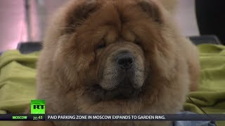 Golden Collar: Best Dog Chosen At Intl Competition In Moscow