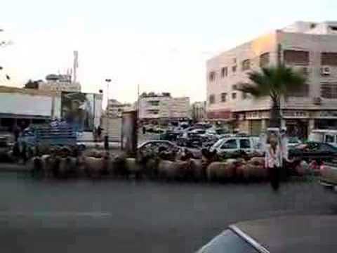 Shepherd leading flock across busy road in Amman, part 3