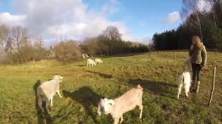 Козы и овцы. Сравнение в содержании.