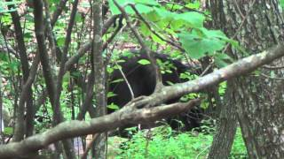BLACK BEAR - Shenandoah N.P.