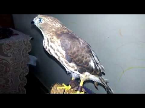 baaz ko kaise khilaye.part02 .. how to feed falcon part02