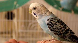 Волнистые попугаи едят с руки. Кормим домашних попугаев