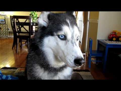 Mishka says 'I'm Pretty' - Dog Talking