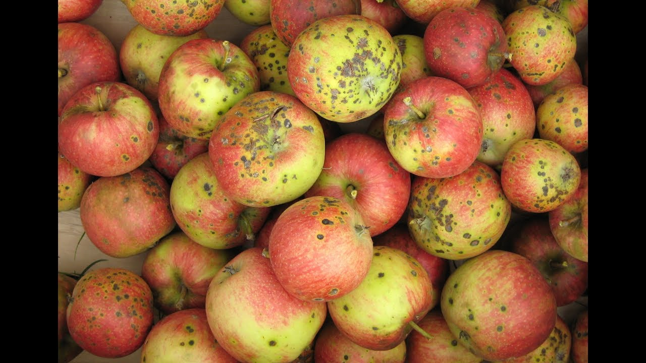 gyümölcs giardiasisban