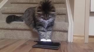Компьютерные игры для котов) Уссури понравились тараканы)