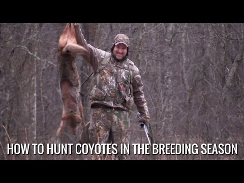 How To Hunt Coyotes In The Breeding Season
