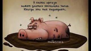 Случка свинки во время половой охоты 07.16.16, случка свиней.