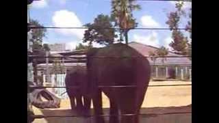Elephants at the Houston Zoo