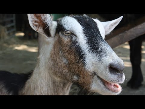 Goats (Ghosts) In The System a.k.a m.eye last video...