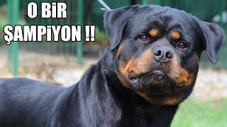 Dünya Şampiyonu ''Rottweiler'' ( Efsane Rottweiler çiftligi Hause of istanbul) #şampiyonlarligi #Dog