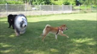 足柄ドッグランcocoで遊んでいたら、柴犬のチロちゃんが遊びに来てくれ...