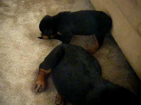 German Rottweiler Puppy Vs American Rottweiler Puppy Youtube