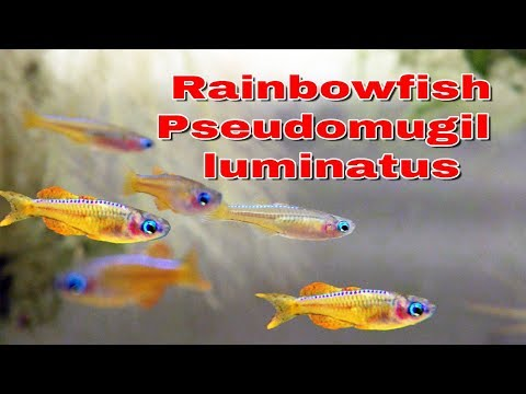 Rainbowfish Pseudomugil Luminatus - Aka Red Neon Blue Eye - New Fish