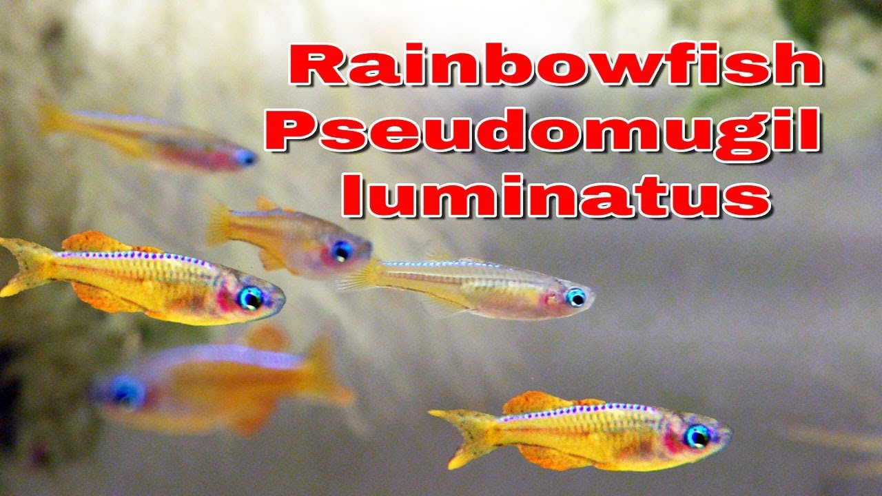 Rainbowfish Pseudomugil Luminatus Aka Red Neon Blue Eye New Fish Youtube