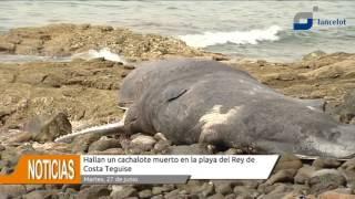 Hallan un cachalote muerto en la playa del Rey de Costa Teguise