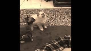 Ragdolls Cat vs Sphynx Cat