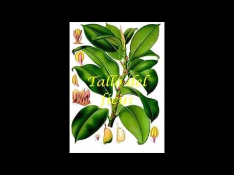 Ficus trigona