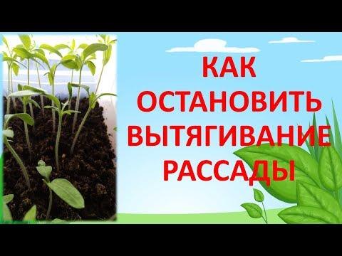 ПОЧЕМУ ВЫТЯГИВАЕТСЯ РАССАДА? Как выращивать рассаду. Как остановить вытягивание рассады.   вытягивается   выращивание   выращивать   фазенда   томатов   рассаду   рассада   томаты   почему   огород
