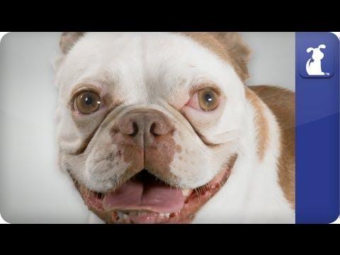 Doglopedia - Boston Terrier