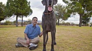 10 Largest Dog Breeds - Biggest dog breed