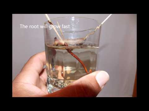 Mango Seed Germination Pictures