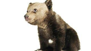 Медвежонок Том