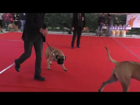 Bullmastiff CAC Male and Best Male