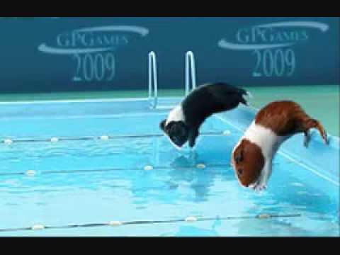Guinea Pig Olympics Flv Youtube