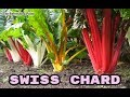 Swiss Chard - The Root of The Ancients - Enhance Performance & Lower Blood Pressure
