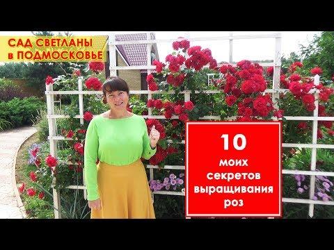 Плетистые и кустовые розы в моем саду. 10 советов по посадке и уходу за садовыми розами.