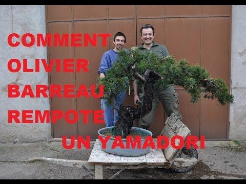 Comment olivier Barreau, Artisan Bonsai, rempote un #yamadori de #pin #sylvestre.