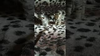 Британские котята скоттиш-страйт, 1,5 месяца малышам