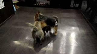 Norwich Terrier  Vs Cairn Terrier  2