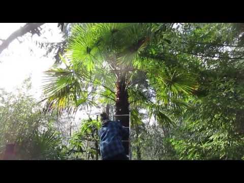Putting Christmas Lights On A Palm Tree