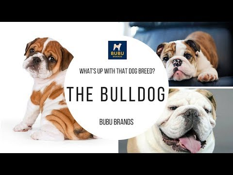 What's up with that dog breed? The Bulldog - Sponsored by Bubu Brands